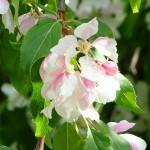 blossom cropped